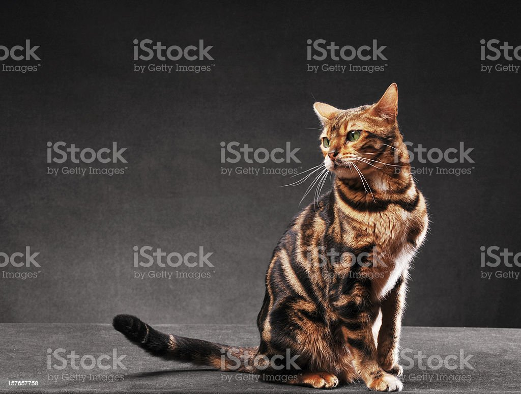 Bengal cat on black background royalty-free stock photo