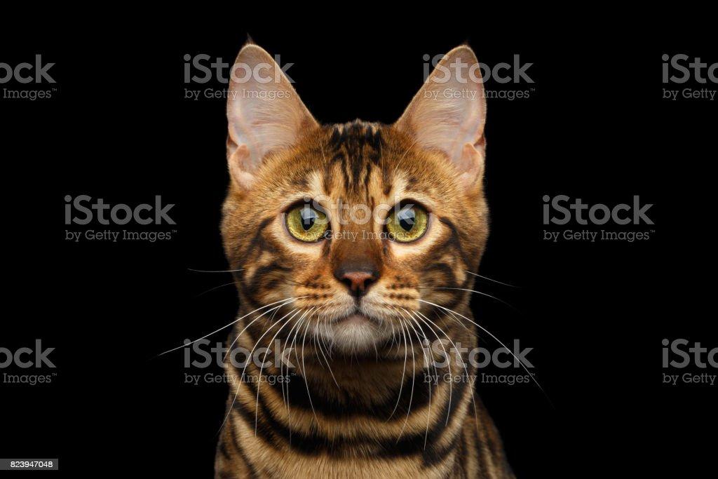 Gato Bengal em fundo preto - foto de acervo