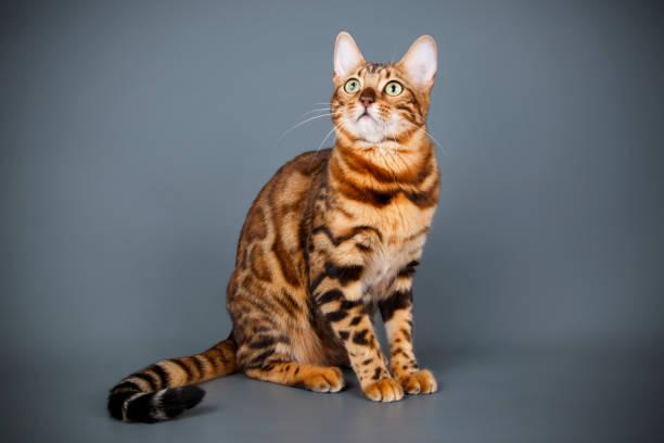 Bengal cat on colored backgrounds picture id1017730412?b=1&k=6&m=1017730412&s=612x612&w=0&h=uout2ee4mmzcv9ewbz9qszxwhqh9uxwqguhswvjxzai=
