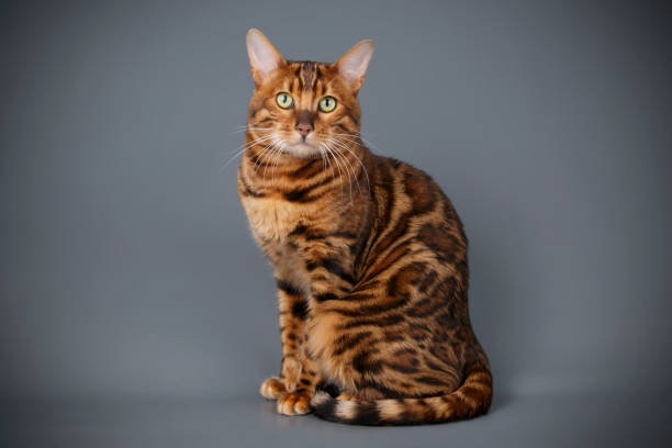 Bengal cat on colored backgrounds picture id1031592976?b=1&k=6&m=1031592976&s=612x612&w=0&h=srjlhn3fjhwfcxafsbtgucnq6hat4dbzvbjyjiqf8yq=