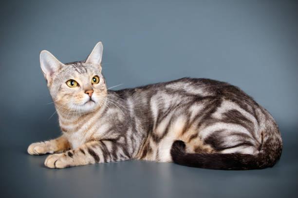 Bengal cat on colored backgrounds picture id1031592984?b=1&k=6&m=1031592984&s=612x612&w=0&h=xswpvnvlgjr7snzgtwsowvorhhqfbggxz7v gidrm2i=