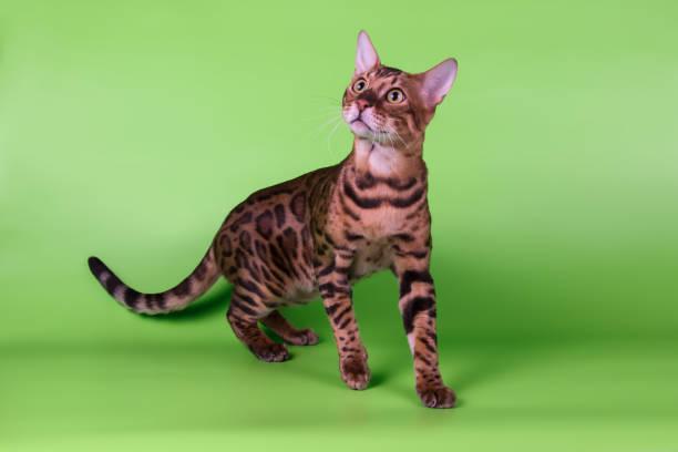 Bengal cat on colored backgrounds picture id1031593092?b=1&k=6&m=1031593092&s=612x612&w=0&h=tlxbcqkzcrjw4dftd7zzkfnlpsybpzjxpxdgoz bfnm=