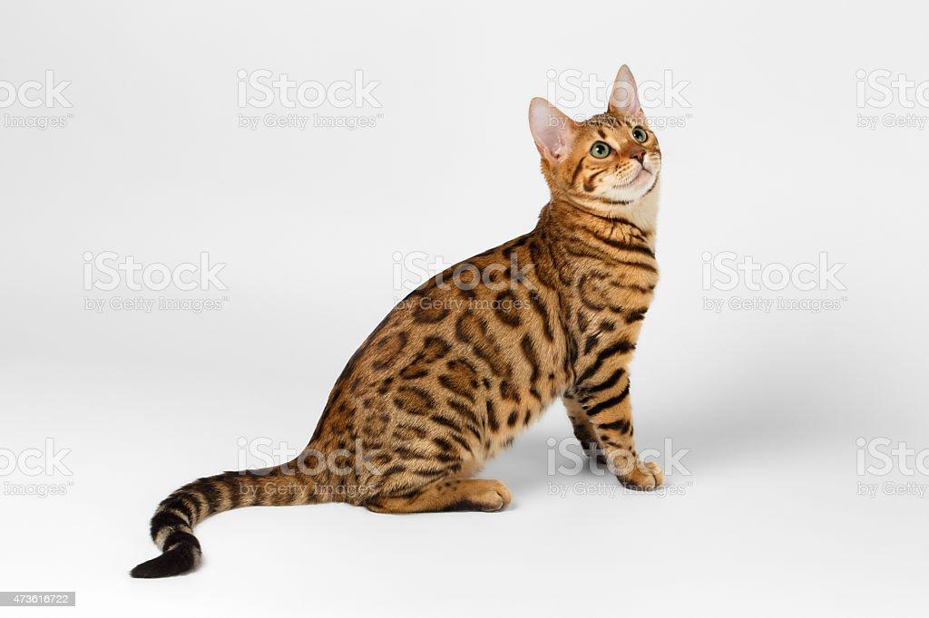 Gato Bengala no fundo branco e olhando para cima - foto de acervo