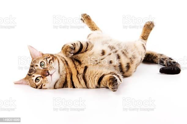 Bengal cat on white background picture id149051699?b=1&k=6&m=149051699&s=612x612&h=kflqn97dawan7ieup6ctgyf6ca7amjh9hooomdxzcqe=