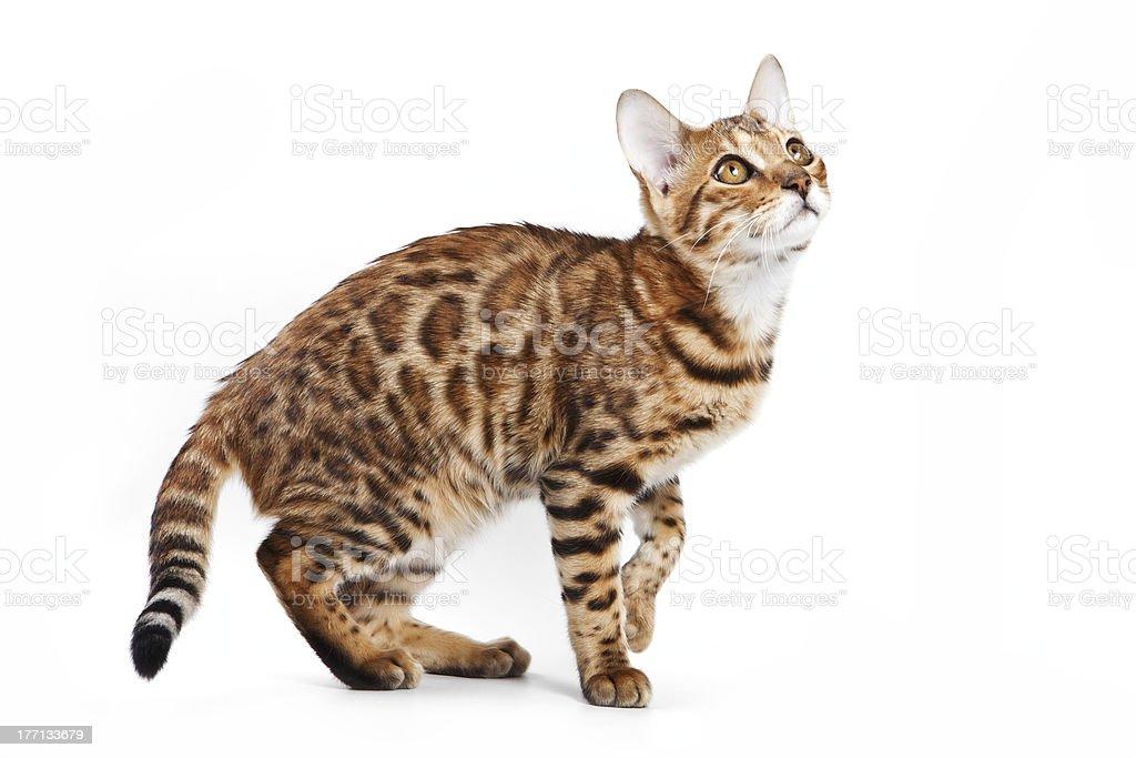 Bengal cat on white background stock photo