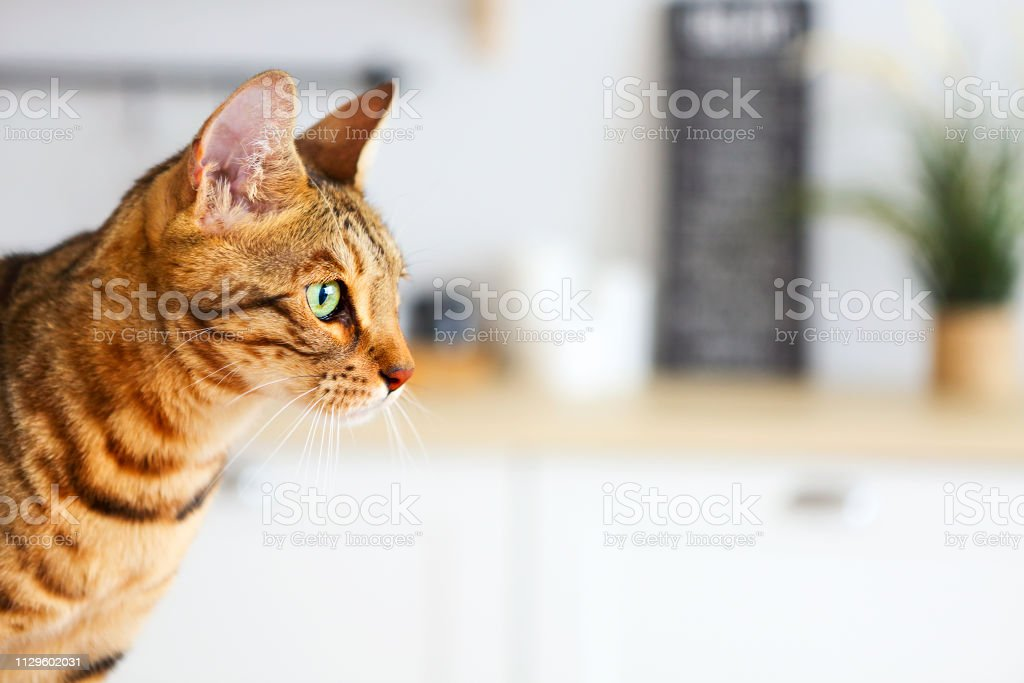 Bengal cat on white background sits sideways, looks aside. Kitchen on...