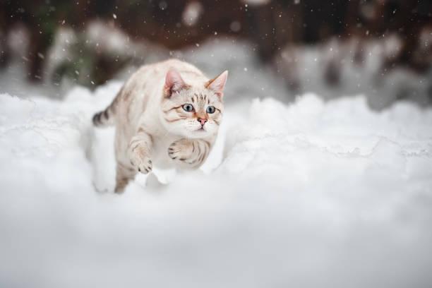 Bengal cat outdoor picture id1193589031?b=1&k=6&m=1193589031&s=612x612&w=0&h= nac2agai8mc7nhkk7 3bw2rylo0sc7hwtu cgcrxny=