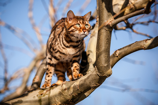 Bengal Cat Outdoor