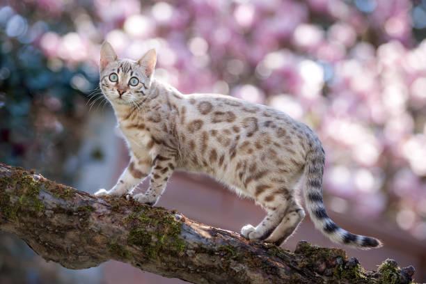 Bengal cat outdoor picture id1193590444?b=1&k=6&m=1193590444&s=612x612&w=0&h=qgsyrc2kv7vljn 3nd2a43o2 rsvej atrqpdn2945w=