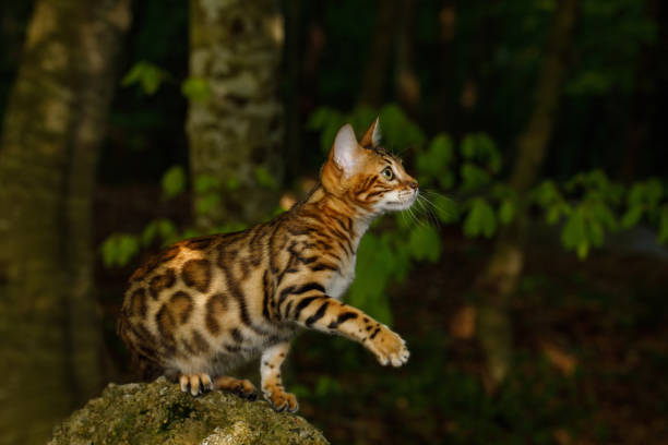 Bengal Cat outdoor stock photo
