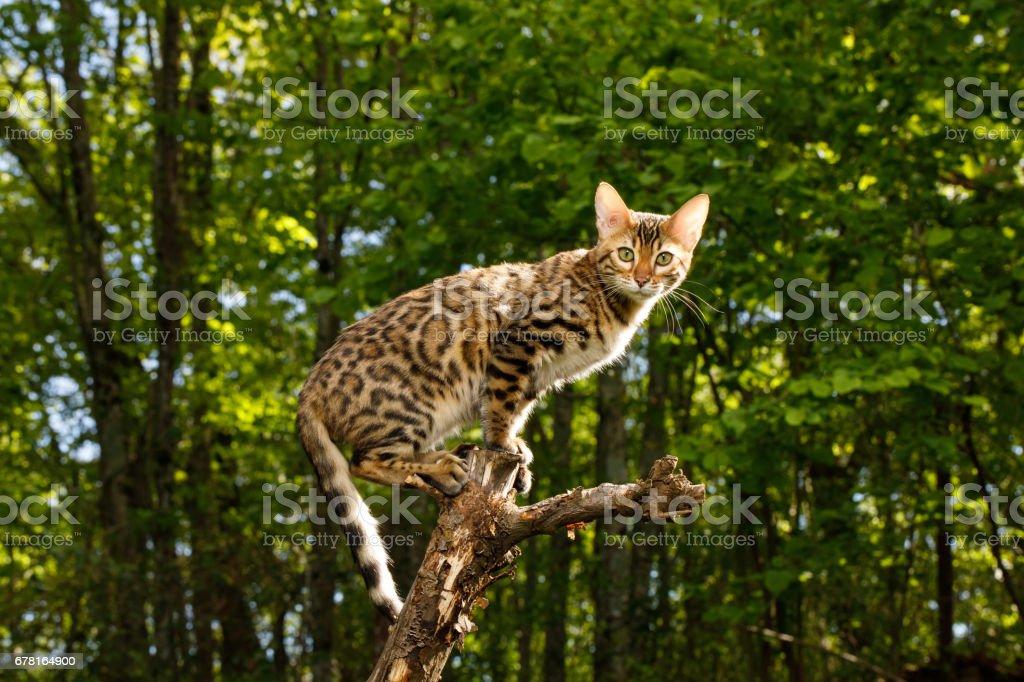 Gato de bengala ao ar livre - foto de acervo