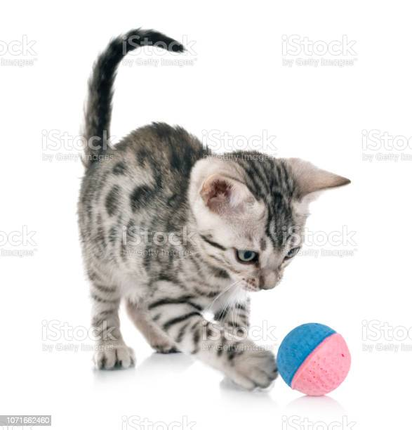 Bengal cat picture id1071662460?b=1&k=6&m=1071662460&s=612x612&h=jmcz gbnymgsrxsdieiobhogbo1ykgkvlrhkc1gn20i=