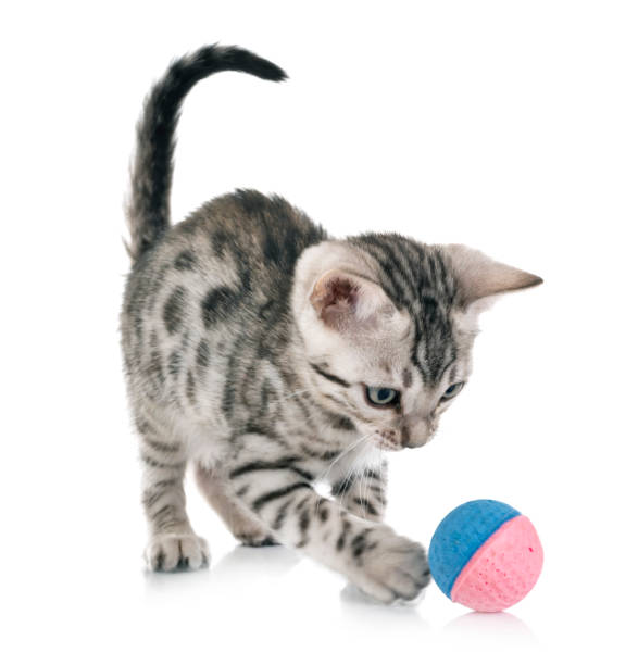 Bengal cat picture id1071662460?b=1&k=6&m=1071662460&s=612x612&w=0&h= 7gojgl aflvikoer2k1i5fxzyqgavbarkcneyhwvbc=