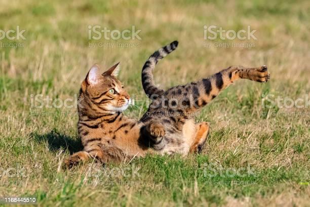 Bengal cat picture id1168445510?b=1&k=6&m=1168445510&s=612x612&h=piftuvusxw0i2htputm4yxxqhf5zvvxfsciyjg1f5c4=