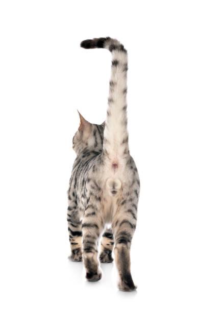 Bengal cat picture id1203917648?b=1&k=6&m=1203917648&s=612x612&w=0&h=rv5bz3dl8 0krhmsxvokrsro0ver8oddo4arpdmdia8=