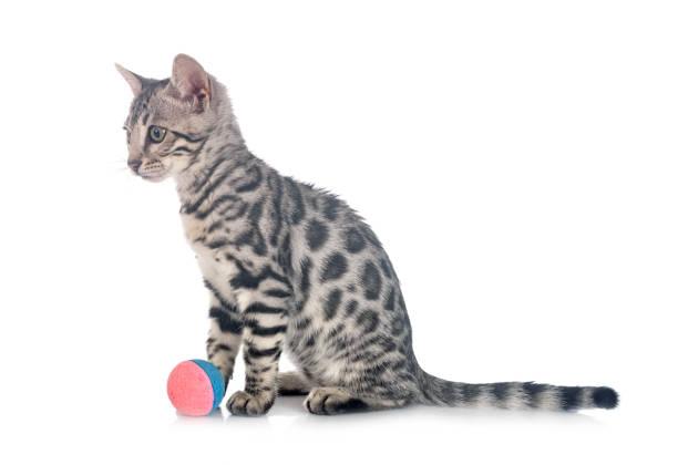 Bengal cat picture id1254935513?b=1&k=6&m=1254935513&s=612x612&w=0&h=fgn2ypgzwzxxeeemesoh74gsnqrvj8anadx2u71fjiw=