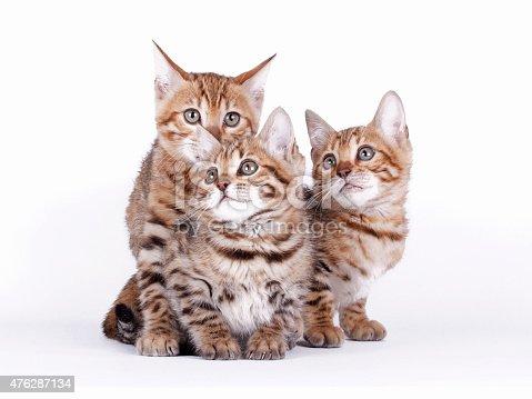 istock Bengal cat 476287134