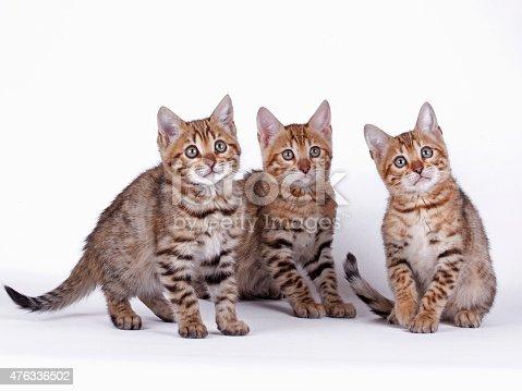 istock Bengal cat 476336502