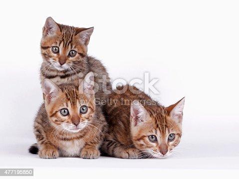 istock Bengal cat 477195850