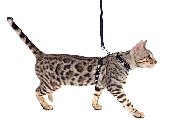 bengal cat - katzengeschirr stock-fotos und bilder