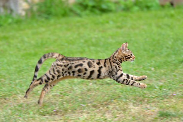 Bengal cat picture id613248048?b=1&k=6&m=613248048&s=612x612&w=0&h=45phaxm396ps4cdlkkx3baumtpiztyvwjz5ybhi5h5m=