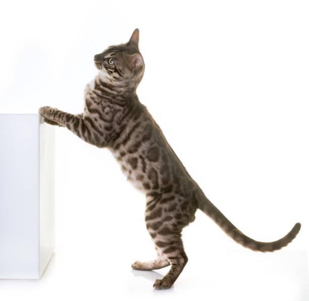 Bengal cat picture id860562766?b=1&k=6&m=860562766&s=612x612&w=0&h=aiusxixkimemfiswu5l93em27xmp5a3ae syjgjucdk=