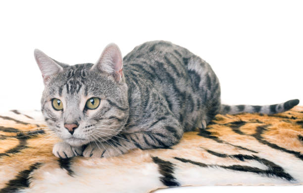Bengal cat picture id860565574?b=1&k=6&m=860565574&s=612x612&w=0&h=y6u927tw8gipw3vhn6nhgtc0 kzj2n k0jqgckz0mto=