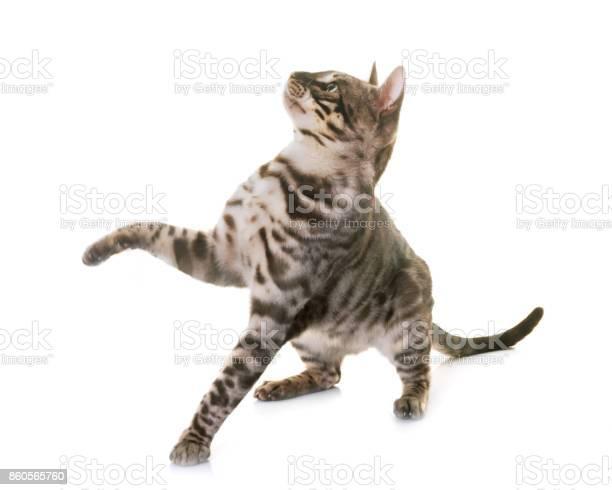 Bengal cat picture id860565760?b=1&k=6&m=860565760&s=612x612&h=otgh4lvend5bk7e3ii2ulq0lndihqw x6alidpbnoco=