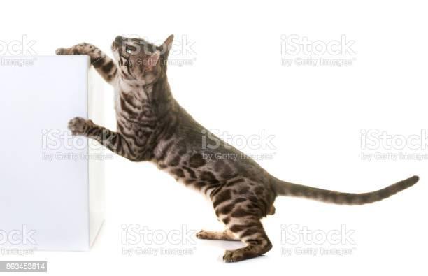 Bengal cat picture id863453814?b=1&k=6&m=863453814&s=612x612&h=rrpxbhmqfp9shfye5b1zvnfcaj tnemuumudngypcpy=