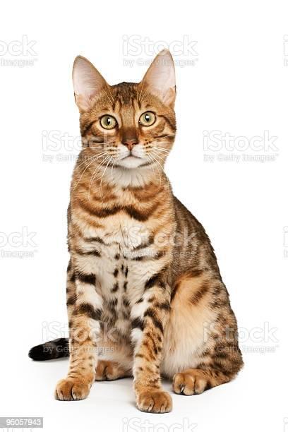 Bengal cat picture id95057943?b=1&k=6&m=95057943&s=612x612&h=dmm4hj8o0fdopj hr44hmndmz7ezruta4ohlfi776wc=