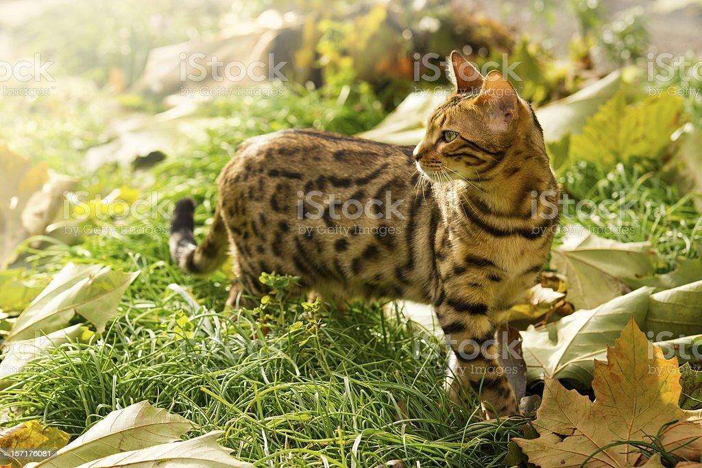 Bengal Cat playing in Garden stock photo