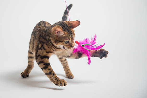 Bengal cat playing on white background picture id515435716?b=1&k=6&m=515435716&s=612x612&w=0&h=ehbqyjfzg inpe2vmf3tjhrxqjc0xsn0oqmkoz2yucc=