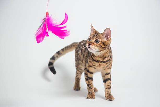 Bengal cat playing on white background picture id519080904?b=1&k=6&m=519080904&s=612x612&w=0&h=phjjcdrrdswg7mibxyrnxhortpkitjvx30zfdq ihmu=
