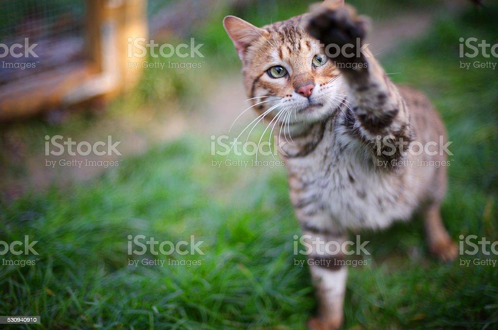 Bengal cat playing stock photo