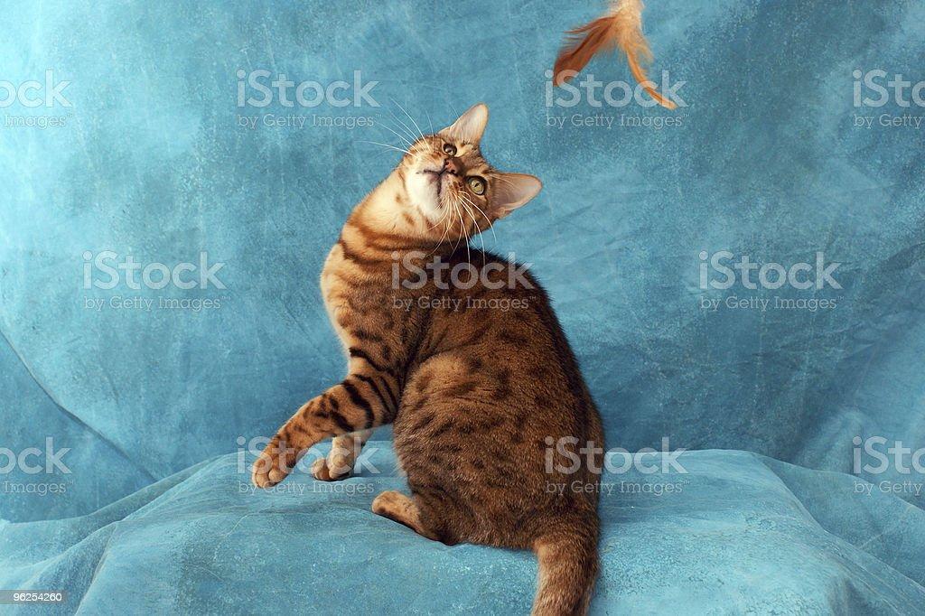 Gato Bengala tocando - Foto de stock de Animais Machos royalty-free