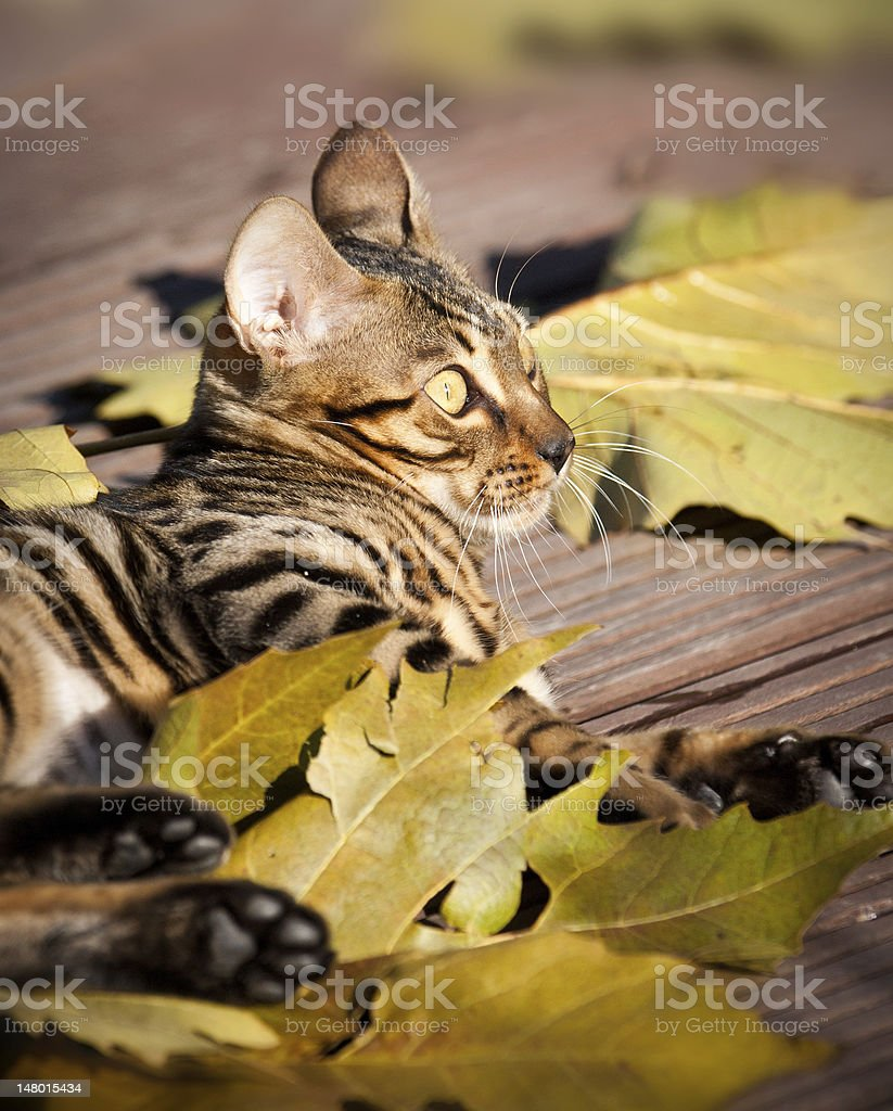 Bengal Cat playing with Autumn Leaves stock photo