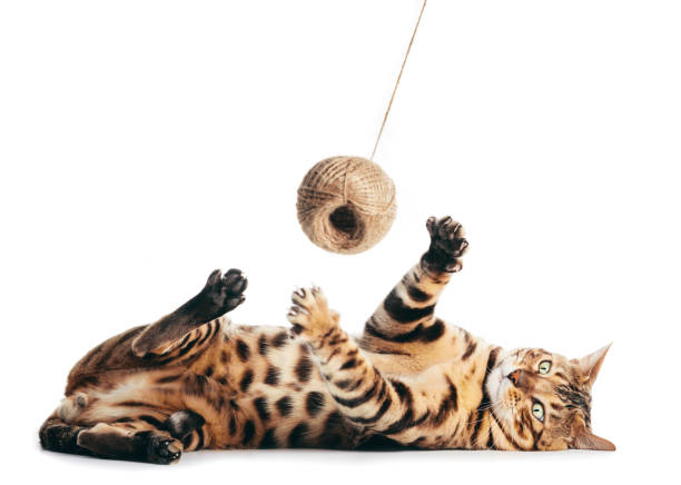 Bengal cat playing with cotton yarn. Isolated stock photo