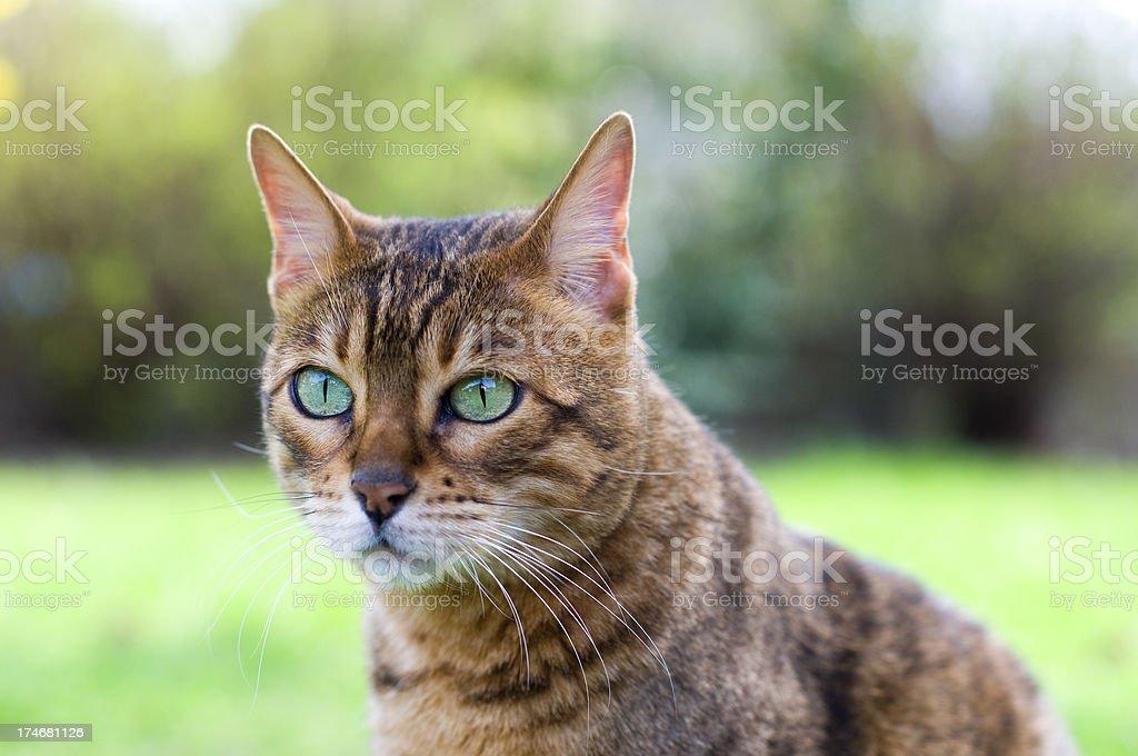 Bengal Cat Portrait stock photo