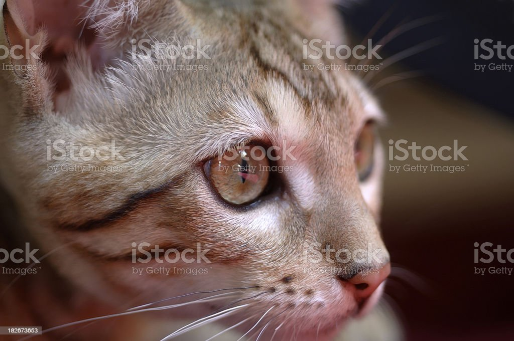 bengal cat portrait royalty-free stock photo