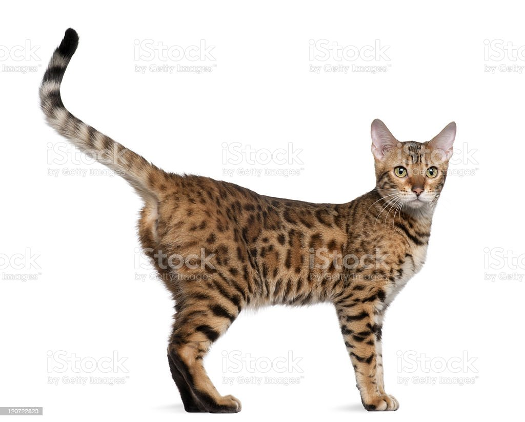 Bengal cat, seven months old, standing, white background. stock photo