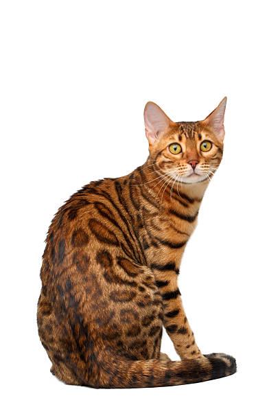 Bengal cat sitting back and turned on white picture id465733214?b=1&k=6&m=465733214&s=612x612&w=0&h=mlz599bswywqblreqtly 6eld ka0vpissd8hxnxsju=