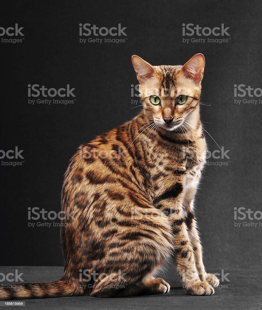 Bengal cat sitting stock photo