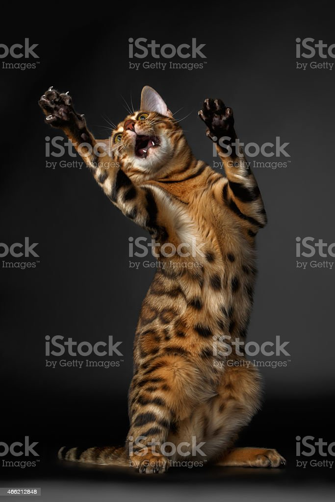 bengal cat standing on hind legs and catching stock photo