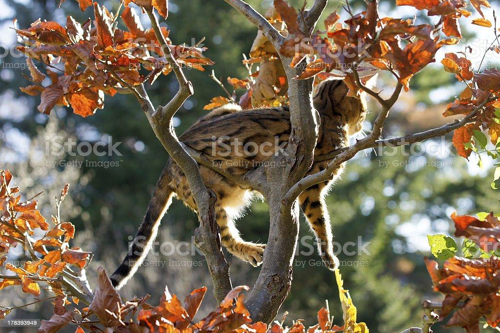 Bengal Cat taking Sunbath on Tree stock photo