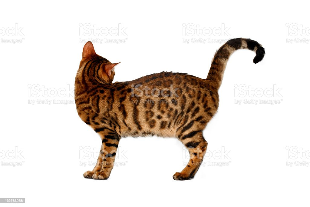 bengal cat turned on white stock photo