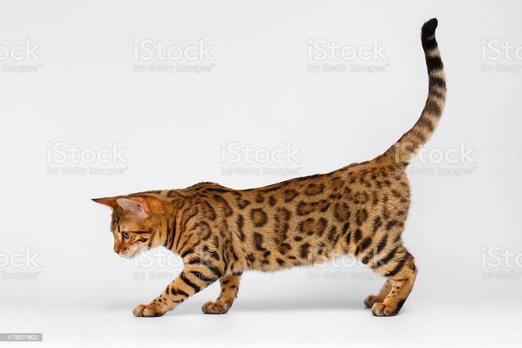 Bengal Cat walking on White background stock photo