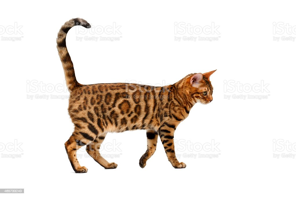 bengal cat walking on white stock photo