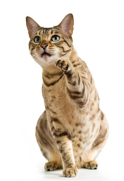 Bengal cat with blue eyes pointing with its paw picture id120035170?b=1&k=6&m=120035170&s=612x612&w=0&h=nfqdtabhroqoazk3szmk495ozyod i jfllzjm3mf90=