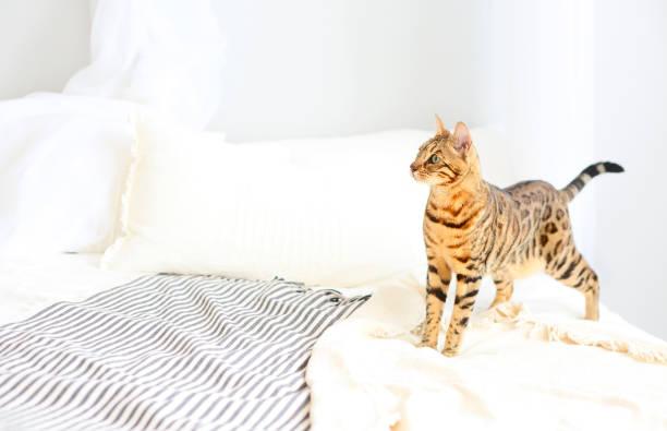 bengal-katze mit grünen augen im schlafzimmer - geparden schlafzimmer stock-fotos und bilder