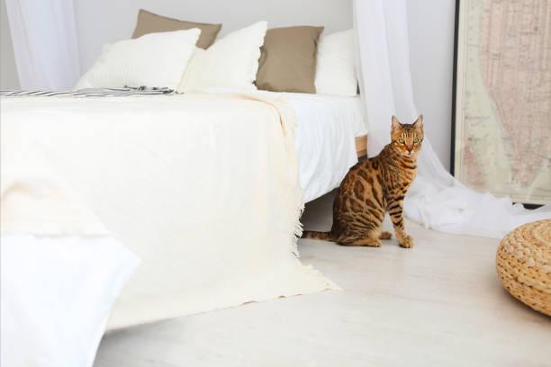 bengal-katze mit grünen augen im schlafzimmer - geparden bettwäsche stock-fotos und bilder